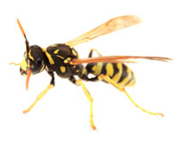 Bees/Wasps/Hornets