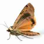 Fabric/Furniture Pest